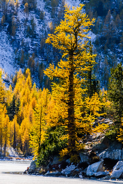 Alpine larch, Methow Valley, Washington