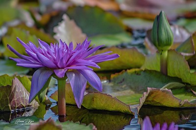Water flower in the botanical garden in Chicago. Enjoy and hold hands.