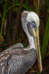 Caribbean Brown Pelican