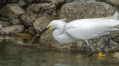 Snowy Egret Catching Fish