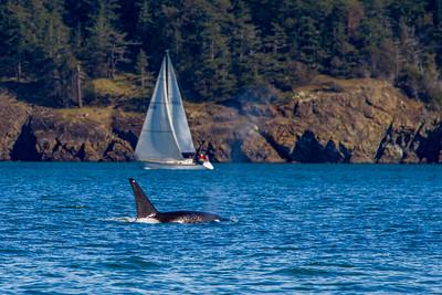 Orca Surfacing with Sailboat