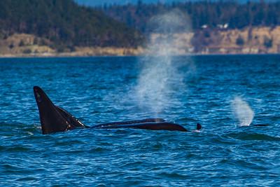Orcas Blow