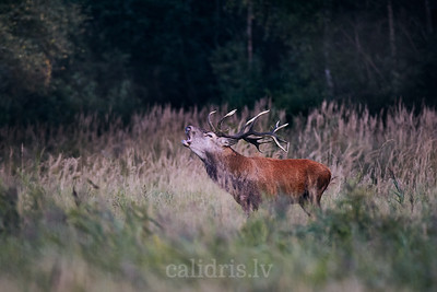 Briežu bullis baurā / Red deer stag lek