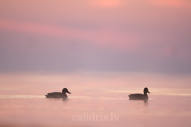 Mallards in sunrise