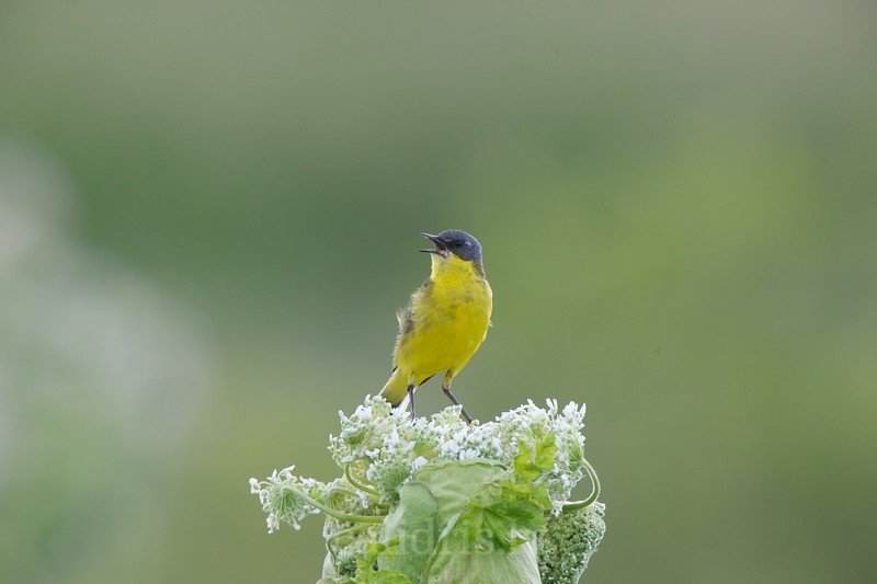 Yellow wagtail perched on a Hogweed plant