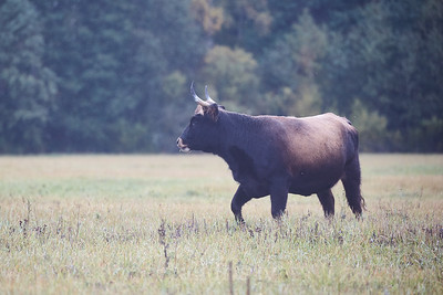 Savvaļas govju bullis Dunduru pļavās