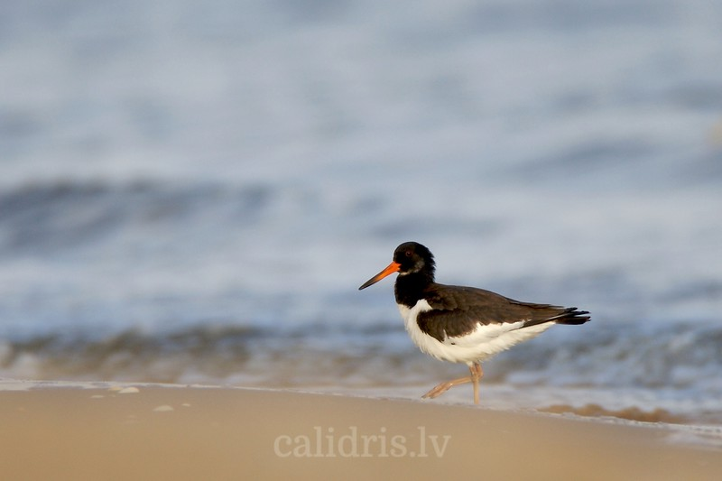 Oystercatcher on beach