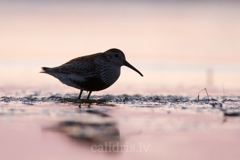 Dunlin in sunrise