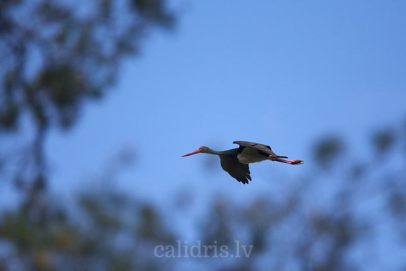 Black Stork in flight