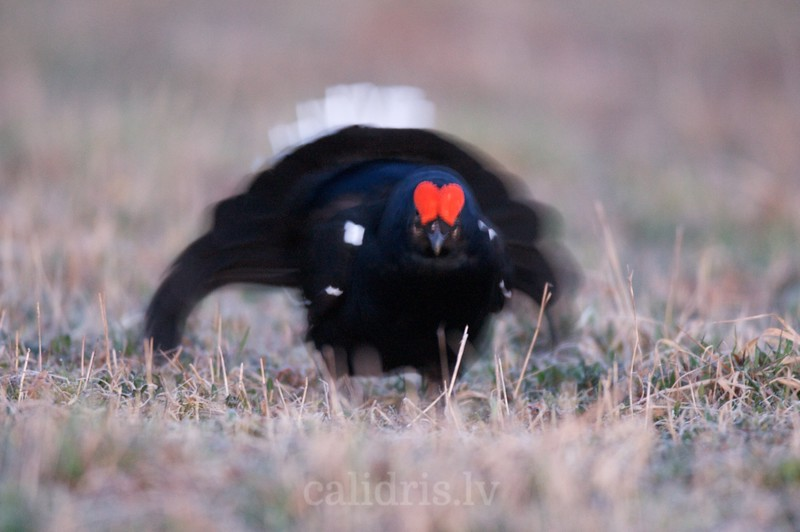 Black Grouse (male) on ground in a lek / Riestojošs rubeņu gailis