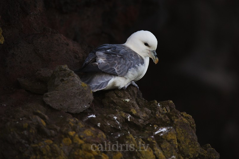 Northern fulmar sits on  a cliff