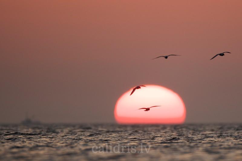 Black-headed Gulls hover over a sea in dawn light