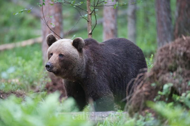 Juvenile Brown Bear