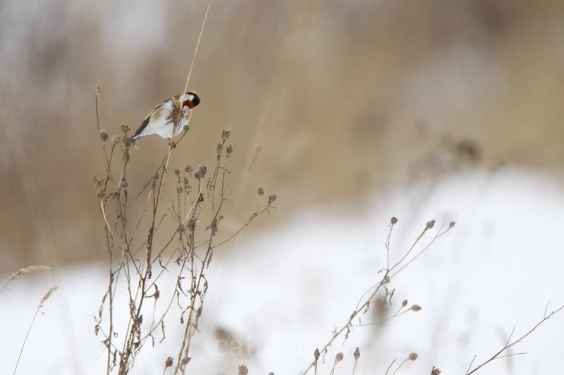 Goldfinches / Dadzīši