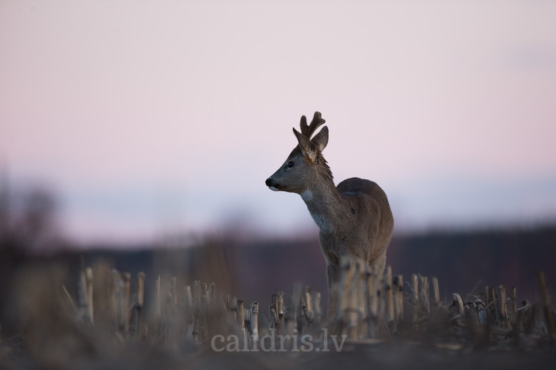 Roe deer bull stands in dark field before sunrise with red sky in background