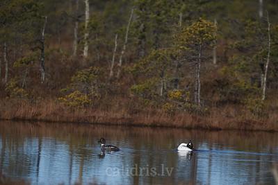 Goldeneyes in marsh lake / Gaigalas purva ezerā