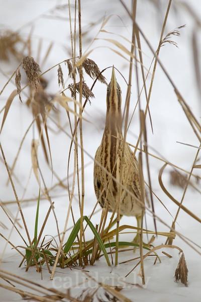 Eurasian Bittern hiding among reeds