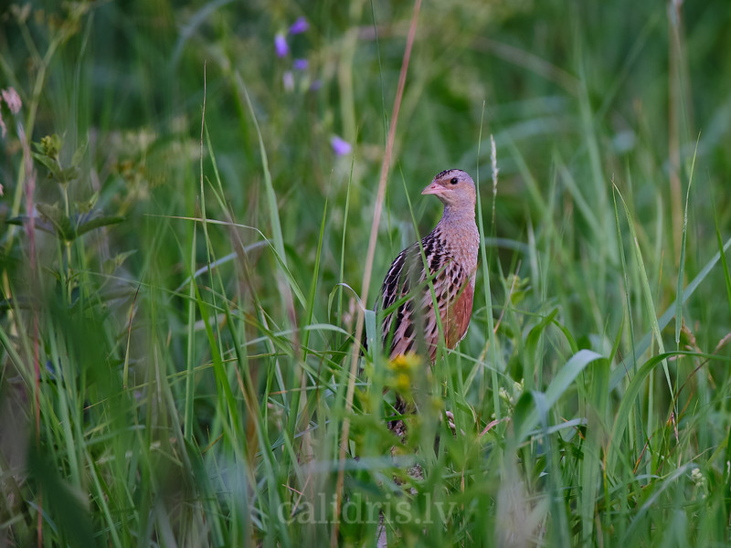 Grieze / Corn crake
