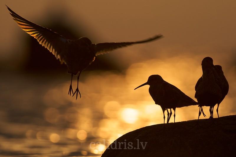Dunlins on a rock in sunrise