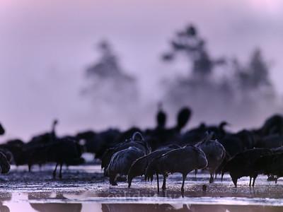 Dzērves rudens migrācijas laikā pie Lielā Ķemeru tīreļa / Common cranes during Autumn migration near Great Kemeri bog
