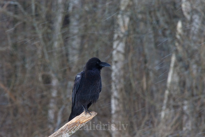 Raven perched on a branch