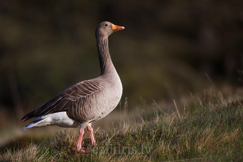 Greylag Goose walks on the ground