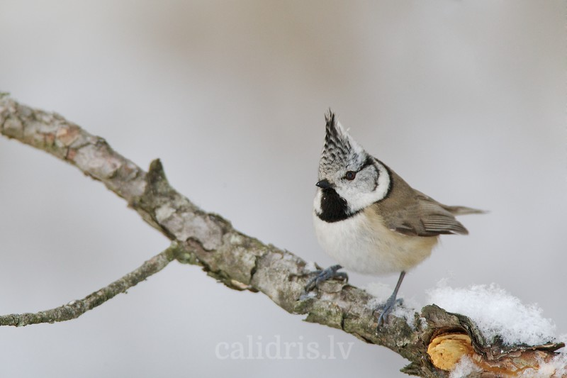Crested Tit on a pearch