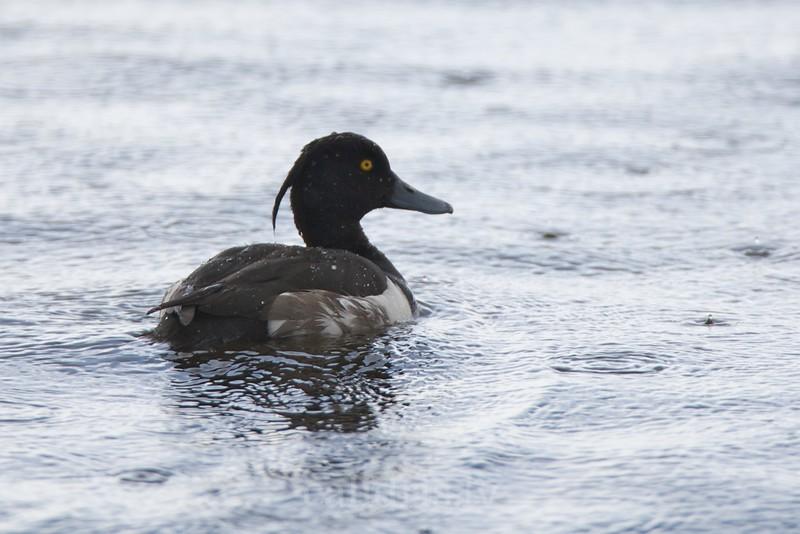 Tuffed Duck