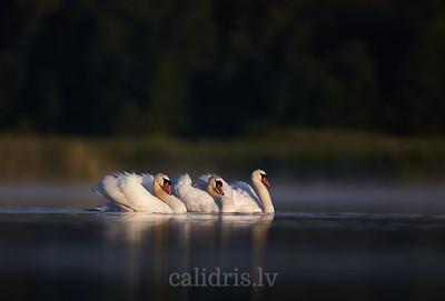 Trīs paugurknābja gulbji / Three mute swans
