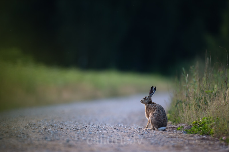 Brown hare sits on gravel road with dark green forest in background