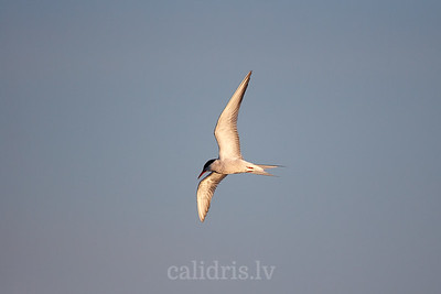 Upes zīriņš lidojumā / Common tern in flight