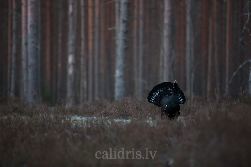Mednis / western capercaillie / Tetrao urogallus