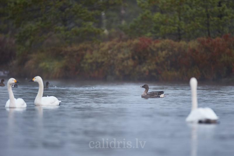 Sējas zoos rudens migrācijas laikā Lielajā Ķemeru tīrelī / Bean goose during Autumn migration