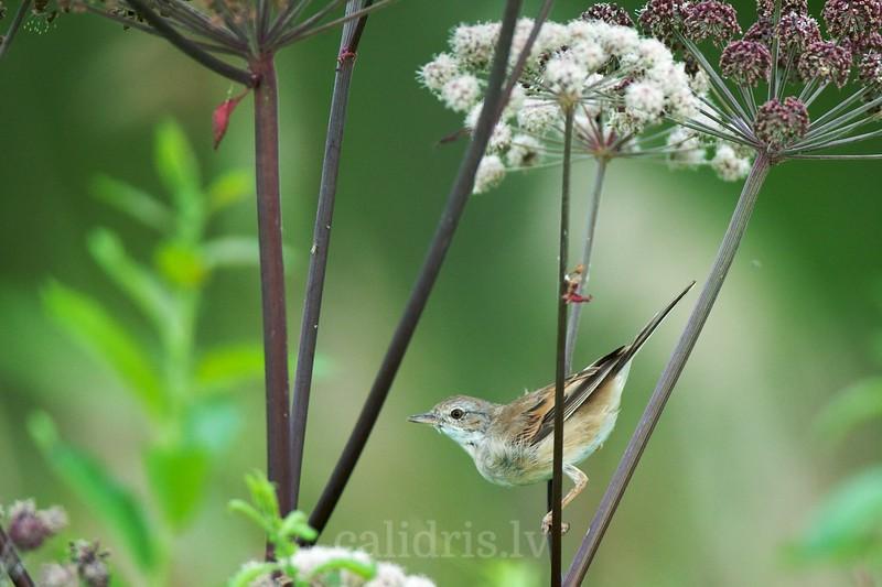 Whitethroat perched on vegetation
