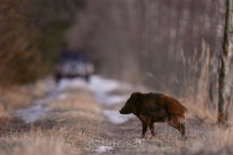Young wild boar in winter on a forest road