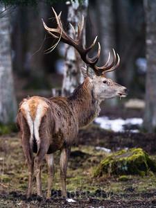 Staltbriedis / Red deer / Cervus elaphus