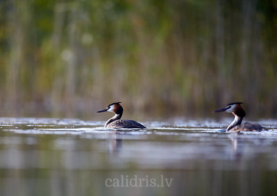 Cekuldūkuri ezerā / Great crested grebes