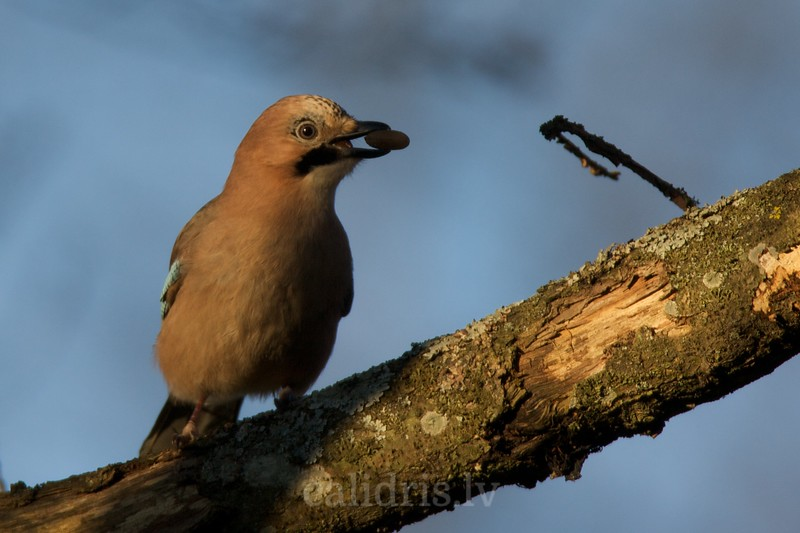Jay with acorn in the beak