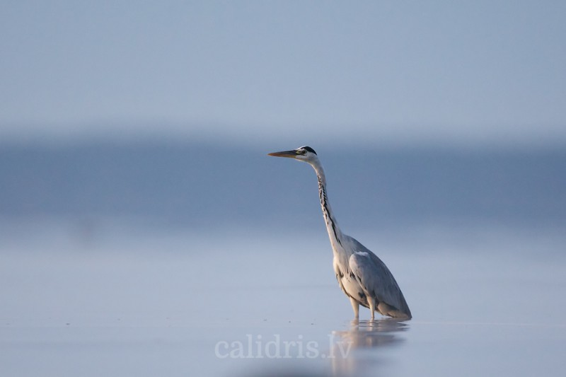Grey Heron stands in water