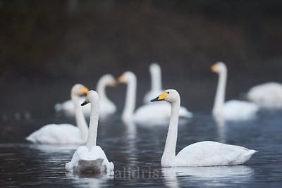 Ziemeļu gulbji Lielajā Ķemeru tīrelī / Whooper swans in a lake during Autumn migration