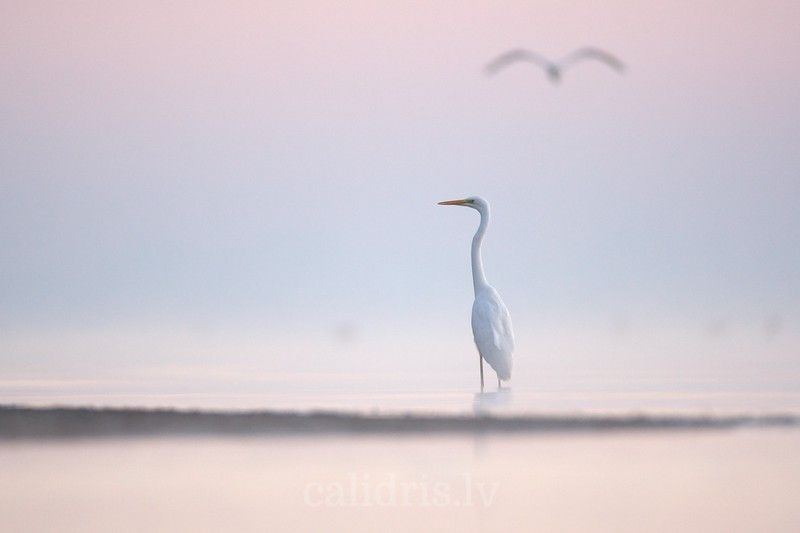 Great Egret in misty sea