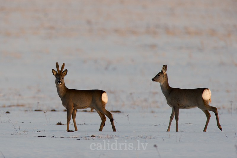 Roe Deer in snow covered field during sunset