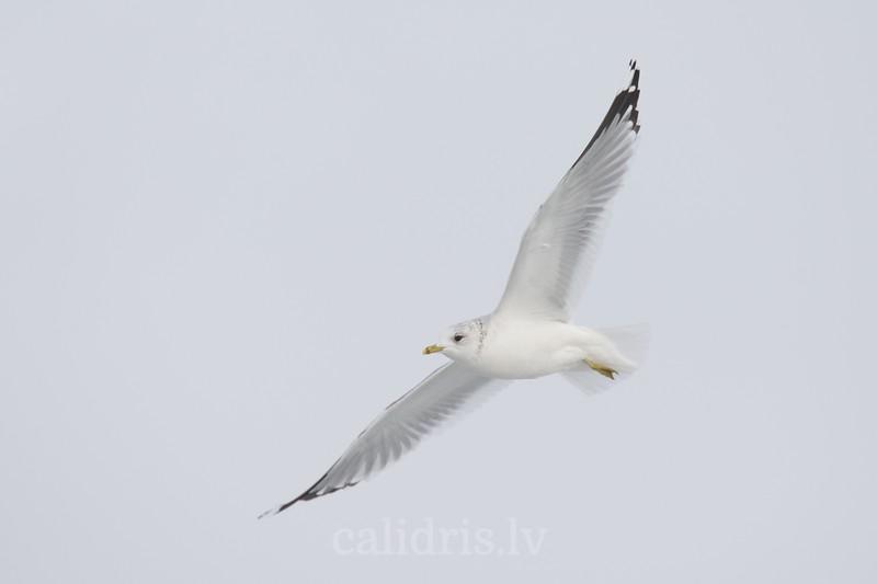 Common Gull in flight, winter