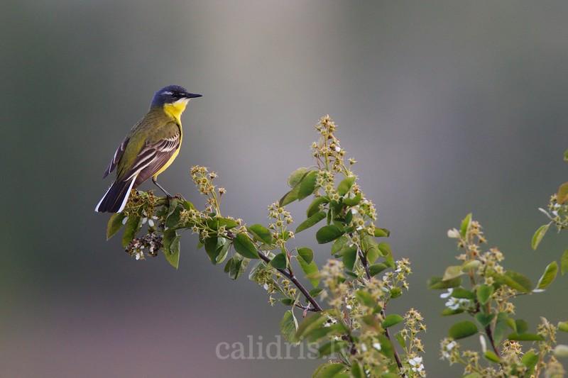 Yellow Wagtail / Dzeltenā cielava