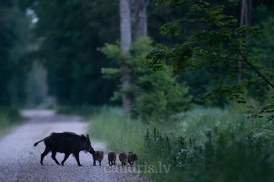 Mežacūka ar maziem sivēniem uz grantēta ceļa mežā vasarā