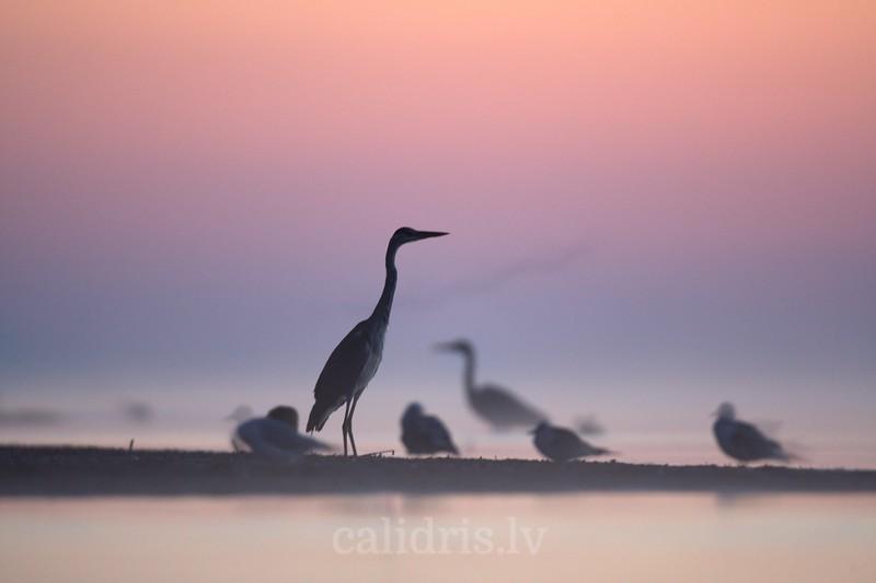Grey Heron stands on beach on misty sunrise