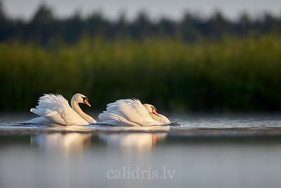 Divi paugurknābja gulbji / Two mute swans