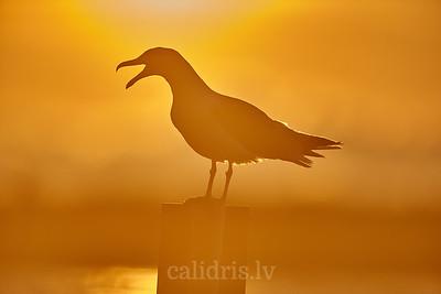 Sudrabkaijas siluets / silhouette of european herring gull