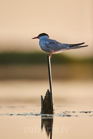Upes zīriņš / Common tern