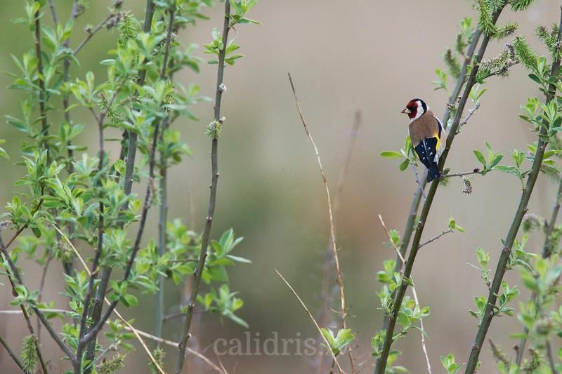 European goldfinch / Dadzītis